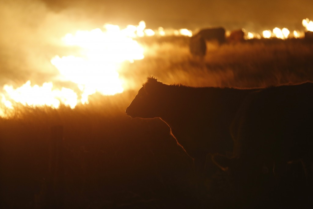 Cattle graze by a wildfire near Protection, Kan., on Tuesday, March, 7, 2017. Grass fires fanned by gusting winds forced the evacuations of several towns and the closure of some roads. (Bo Rader/Wichita Eagle/TNS via Getty Images)